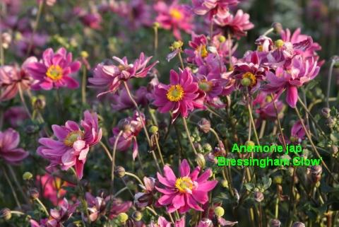 Lieblings Herbstanemonen/Japananemonen:Neues Exclusiv Sortiment von Master #KF_03