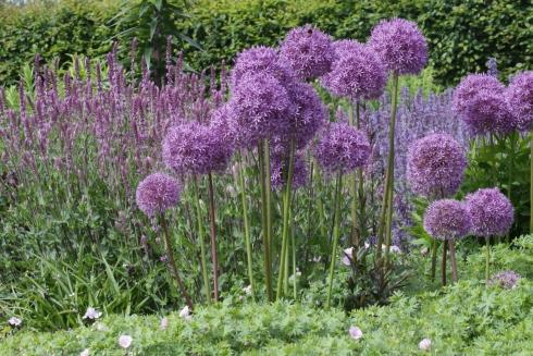 Atemberaubend Der Zwiebelgarten - Riesenlauch und Kaiserkronen - Winterharte @MP_75