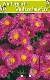 erigeron speciosus 39 rosa juwel 39 feinstrahlaster winterharte stauden f r lebendige g rten. Black Bedroom Furniture Sets. Home Design Ideas