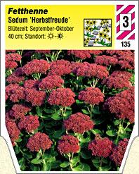sedum telephium 39 herbstfreude 39 fetthenne winterharte. Black Bedroom Furniture Sets. Home Design Ideas