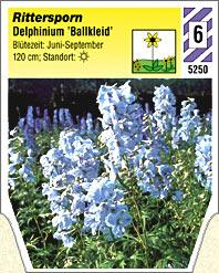 delphinium belladonna 39 ballkleid 39 rittersporn winterharte stauden f r lebendige g rten. Black Bedroom Furniture Sets. Home Design Ideas