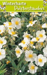 helianthemum hybr 39 die braut 39 sonnenr schen winterharte stauden f r lebendige g rten. Black Bedroom Furniture Sets. Home Design Ideas