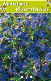 lithodora diffusa 39 haevenly blue 39 steinsame winterharte stauden f r lebendige g rten. Black Bedroom Furniture Sets. Home Design Ideas