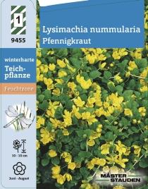 10 Stück Staude Pfennigkraut Münzkraut Lysimachia nummularia