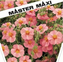 helianthemum hybr rosa sonnenr schen winterharte stauden f r lebendige g rten. Black Bedroom Furniture Sets. Home Design Ideas