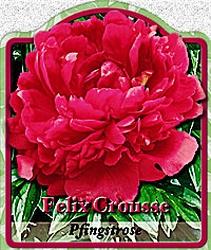 paeonia lactiflora 39 felix crousse 39 pfingstrose. Black Bedroom Furniture Sets. Home Design Ideas