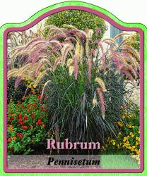 pennisetum setaceum 39 rubrum 39 federborstengras winterharte stauden f r lebendige g rten. Black Bedroom Furniture Sets. Home Design Ideas