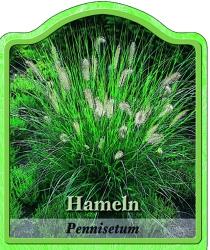 pennisetum alopec 39 hameln 39 federborstengras. Black Bedroom Furniture Sets. Home Design Ideas