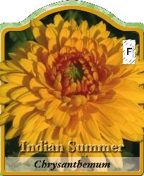 chrysanthemum hortorum indian summer gartenchrysantheme winterharte stauden f r lebendige. Black Bedroom Furniture Sets. Home Design Ideas