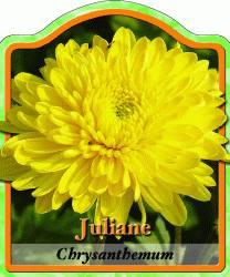 chrysanthemum hortorum 39 juliane 39 gartenchrysantheme. Black Bedroom Furniture Sets. Home Design Ideas