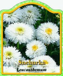 leucanthemum maximum 39 snehurka 39 margerite winterharte. Black Bedroom Furniture Sets. Home Design Ideas