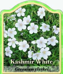 geranium clarkei 39 kashmir white 39 storchschnabel. Black Bedroom Furniture Sets. Home Design Ideas