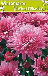 chrysanthemum hortorum 39 orchid helen 39 gartenchrysantheme winterharte stauden f r lebendige. Black Bedroom Furniture Sets. Home Design Ideas