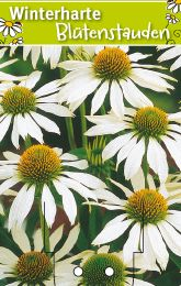 echinacea purpurea 39 alba 39 sonnenhut winterharte stauden f r lebendige g rten. Black Bedroom Furniture Sets. Home Design Ideas