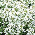 Arabis procurrens 'Glacier'