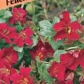 Mimulus cupreus 'Roter Kaiser' (WS)