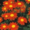 Tanacetum coccineum 'Robinsons Rot'