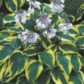 Hosta hybr 'Wide Brim'
